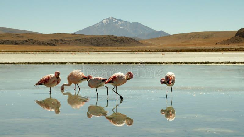 Flamencos en Laguna Colorada, Bolivia imagen de archivo