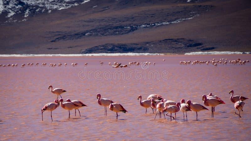 Flamencos en laguna roja en Bolivia foto de archivo libre de regalías