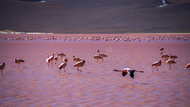 Flamencos en laguna roja en Bolivia fotografía de archivo libre de regalías