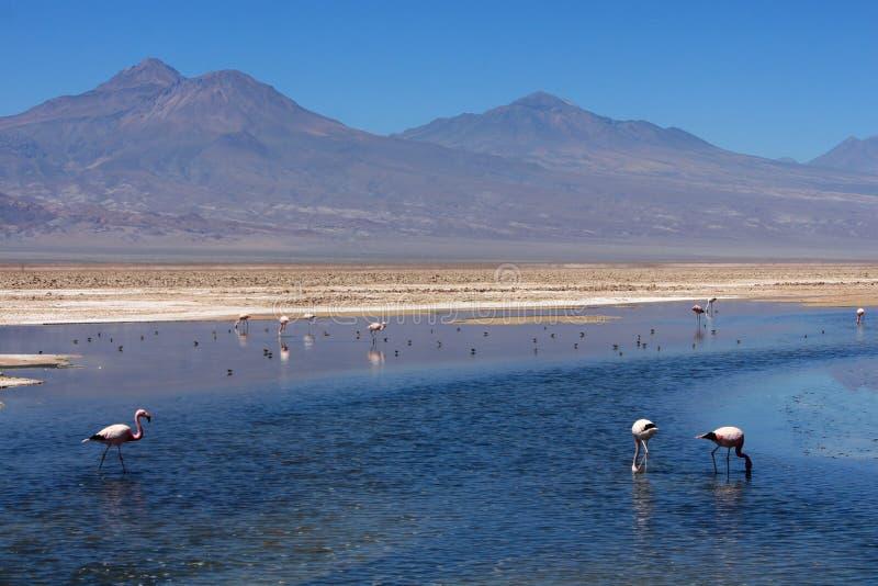 Flamencos en laguna salada azul imagen de archivo