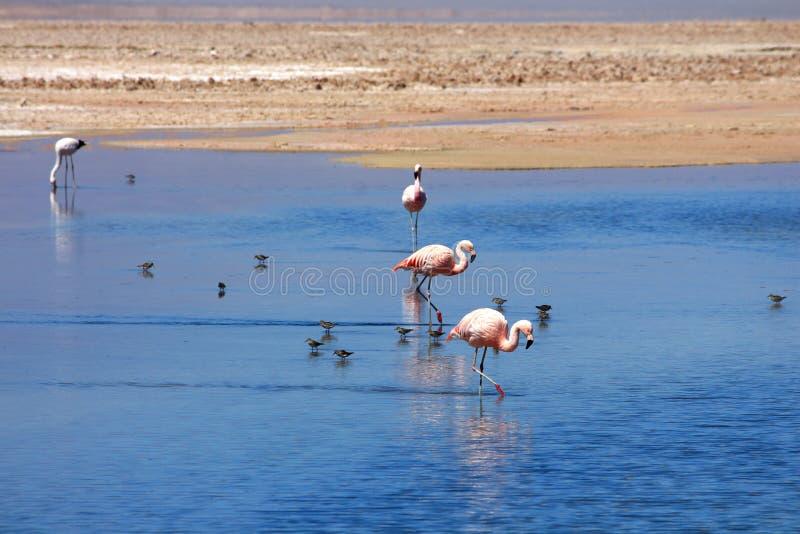 Flamencos en laguna salada azul fotografía de archivo libre de regalías
