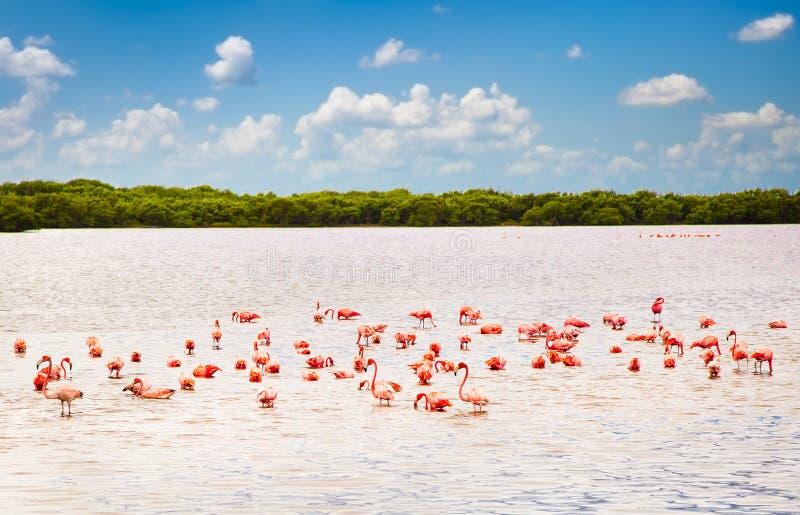 Flamencos en una laguna Rio Lagartos, Yucatán, México imagenes de archivo