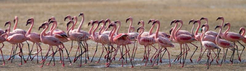 Flamencos grandes del grupo en el lago kenia África Nakuru National Park Reserva nacional de Bogoria del lago imágenes de archivo libres de regalías