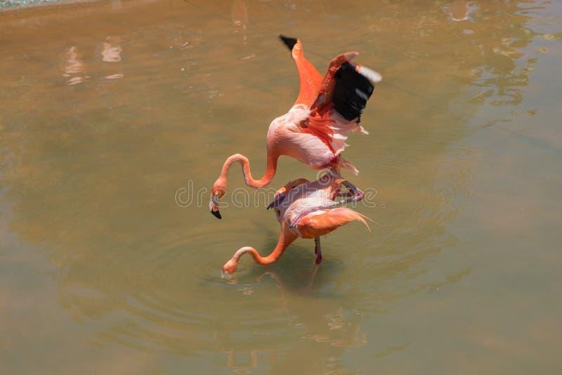 Flamencos rosados de acoplamiento en el mundo del mar de San Diego foto de archivo