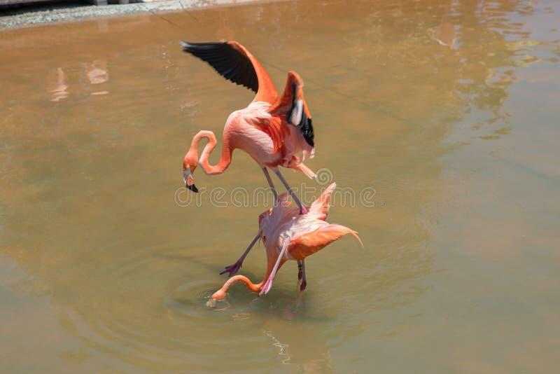 Flamencos rosados de acoplamiento en el mundo del mar de San Diego fotografía de archivo