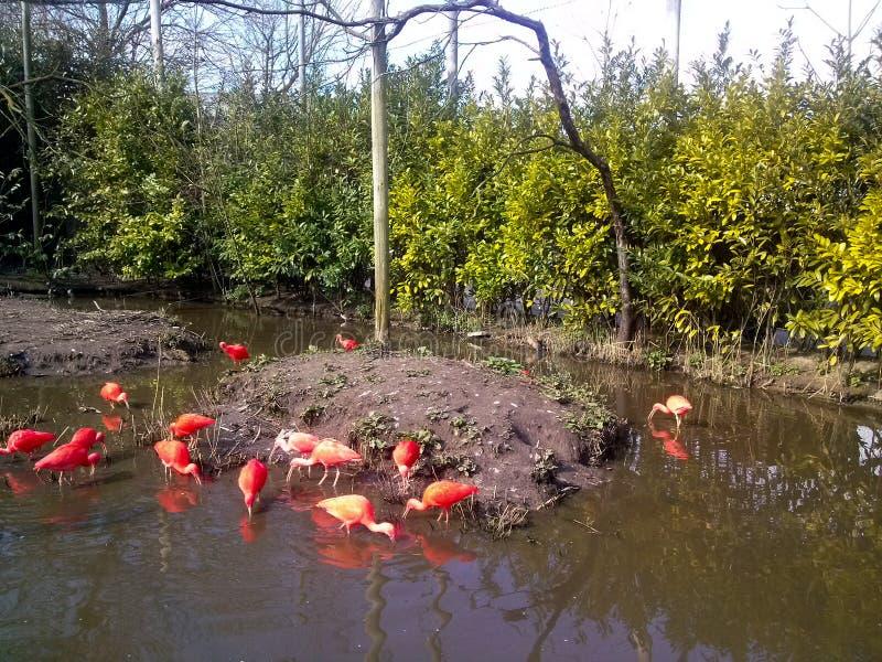 Flamencos rosados en un lago en el parque zoológico de Rotterdam, los Países Bajos imagen de archivo