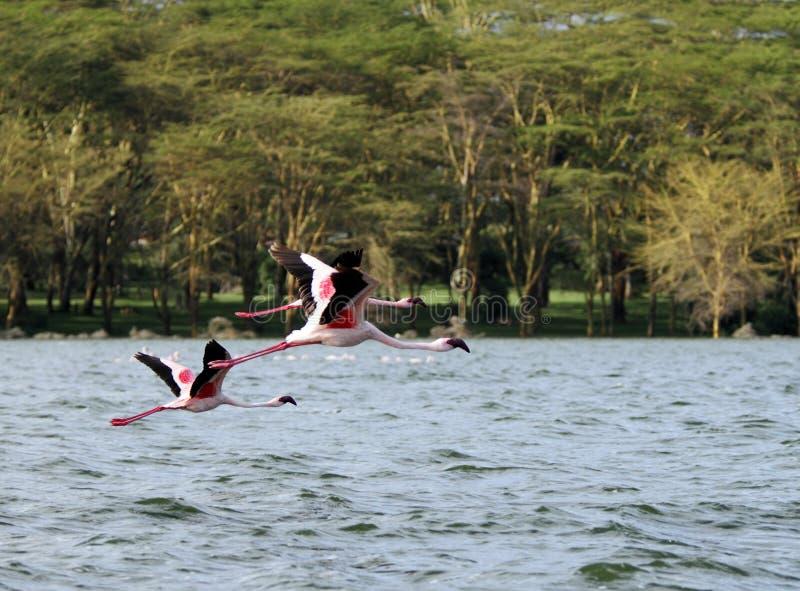 Flamencos rosados que vuelan foto de archivo