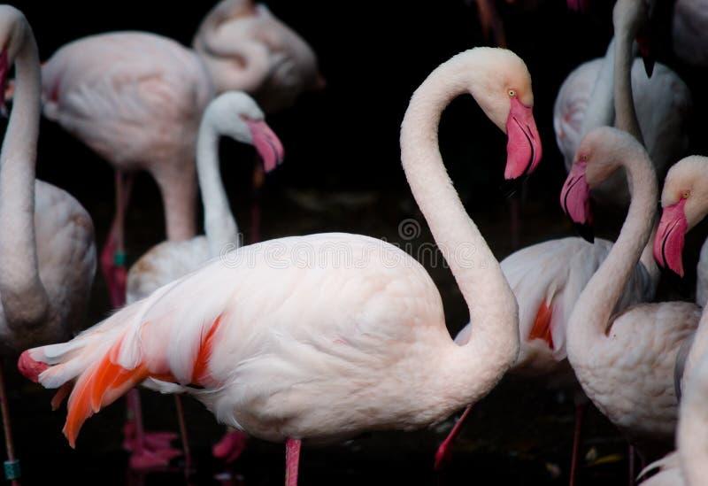Flamencos rosados (ruber del ruber de Phoenicopterus) fotografía de archivo libre de regalías