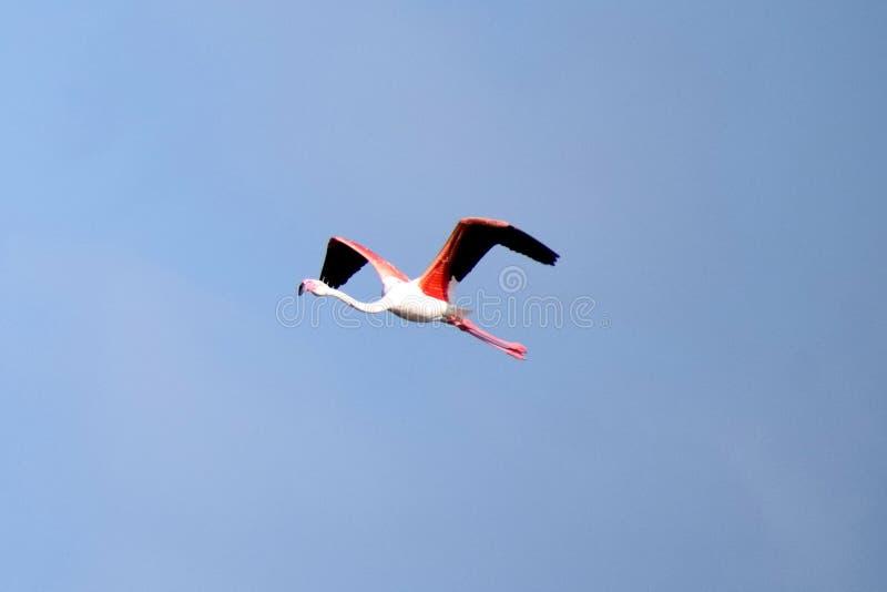 Flamencos volando de continente en continente. Un pájaro migrante imagen de archivo libre de regalías