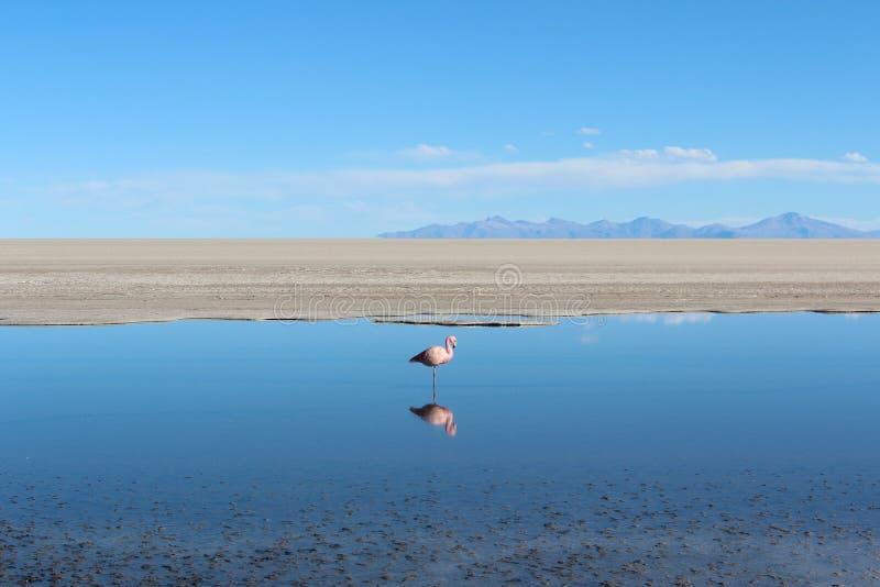 Flamengo mit Reflexion auf den Salzseen (Bolivien) stockfotografie