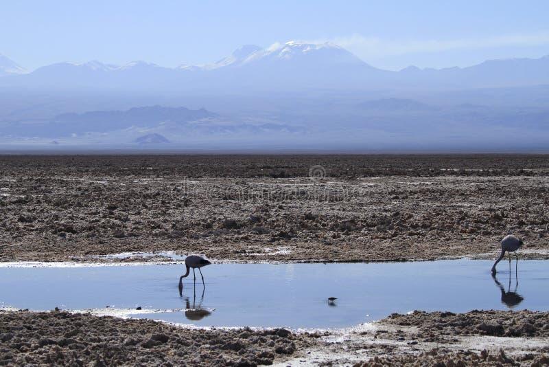 Flamengos na reserva do flamenco em Salar de Atacama fotos de stock