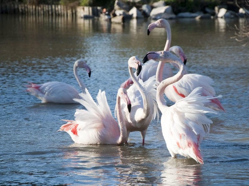 Flamingos in a pond. At Camargue park, France stock photography