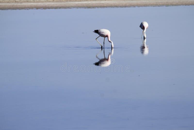 Download Flamengos W Flamenco Rezerwie W Salar De Atacama Obraz Stock - Obraz złożonej z ślad, jezioro: 57668793