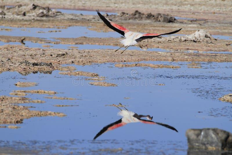 Download Flamengos W Flamenco Rezerwie W Salar De Atacama Zdjęcie Stock - Obraz złożonej z widok, ptak: 57669328