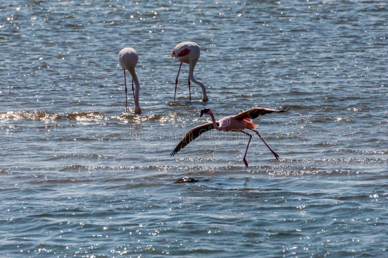 Flamengos at Walvis Bay. A flamengo -Phoenicopteridae- landing in water at Walvis Bay, Namibia royalty free stock photos