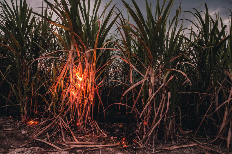 Flames in sugar cane. Burning sugar cane in preparation for harvest stock image