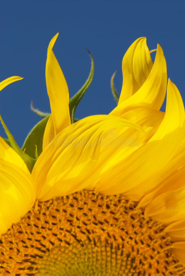 Download Flames Of A Sunflower Royalty Free Stock Image - Image: 5062726