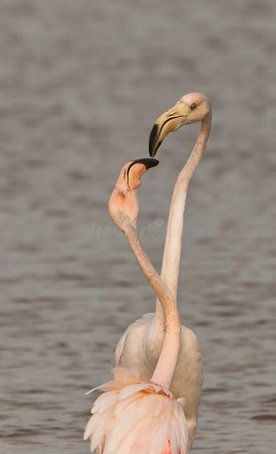 flamingów bawić się wielki fotografia stock