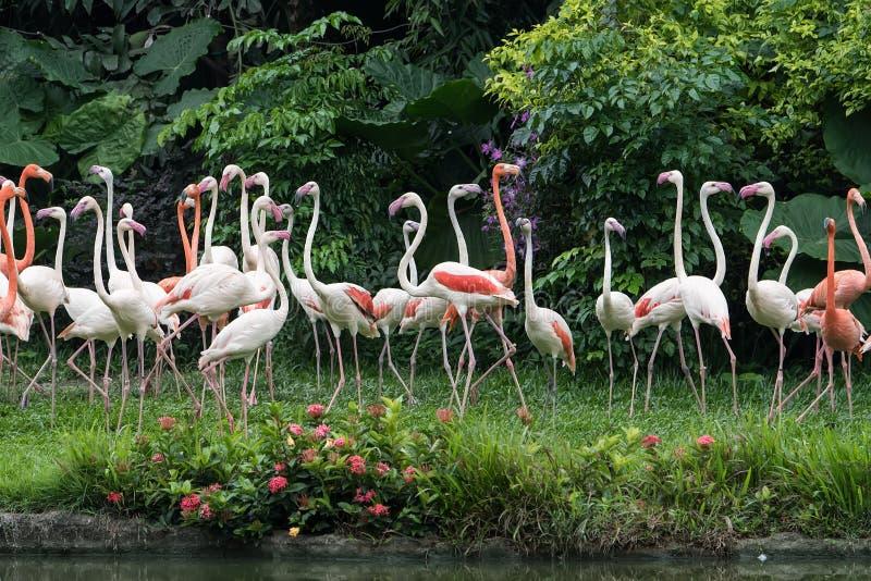 Flamingów ptaków stać obraz royalty free