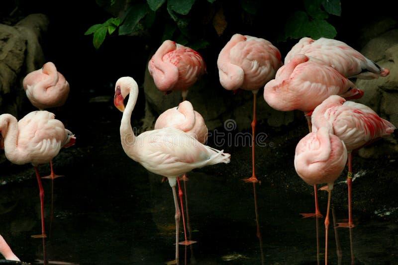 flamingów spać zdjęcie royalty free