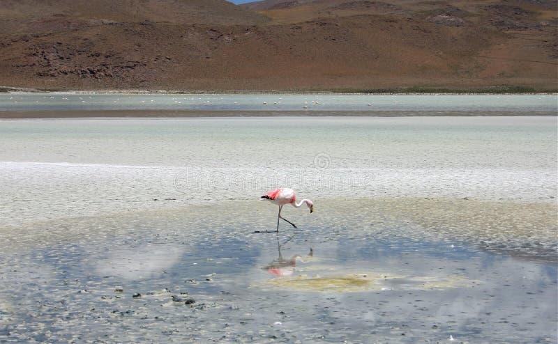Flaming blisko Salar De Uyuni w Bolivia fotografia stock