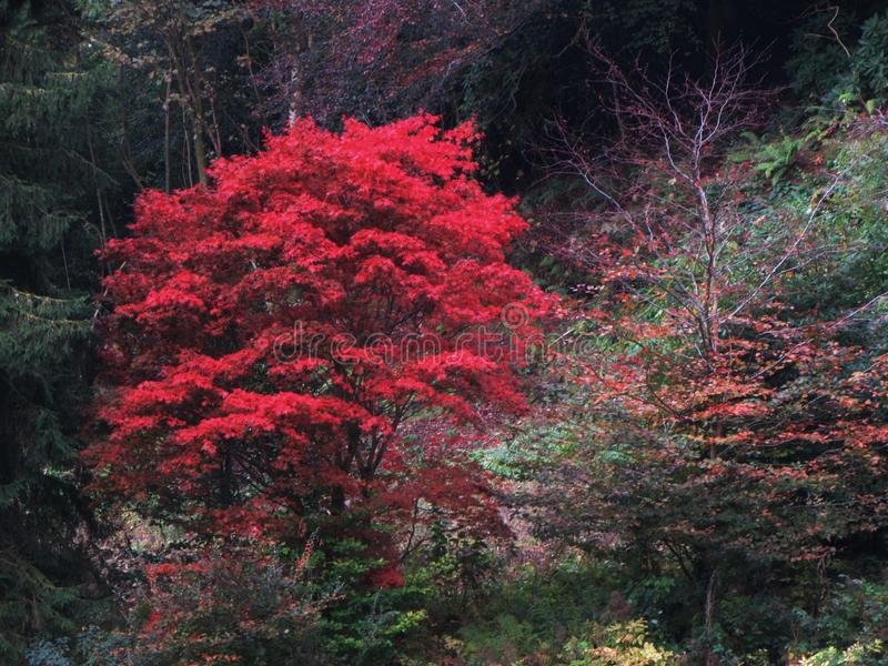 Flaming foliage. Eyecatching colour of autumn leaves royalty free stock photography