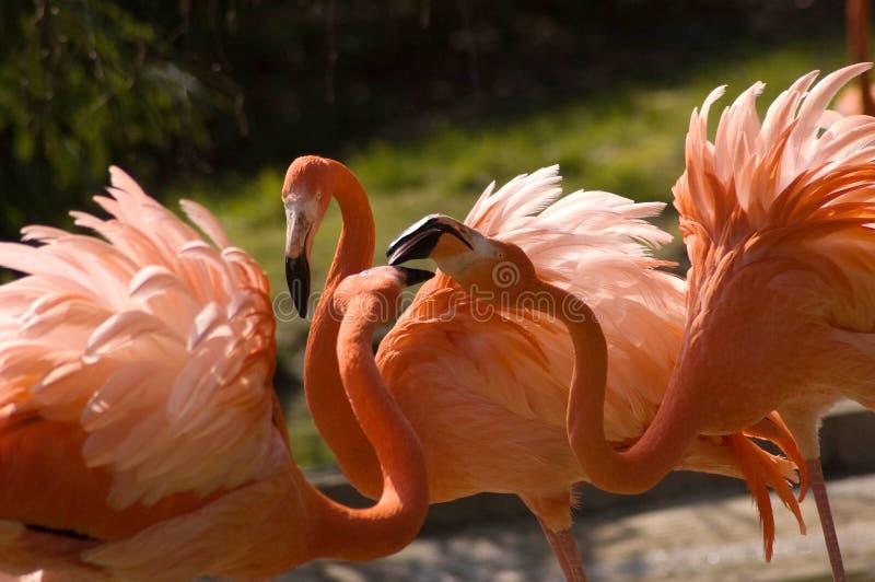 Flaming Phoenicopteridae, Phoenicopterus (, gen.) fotografia stock