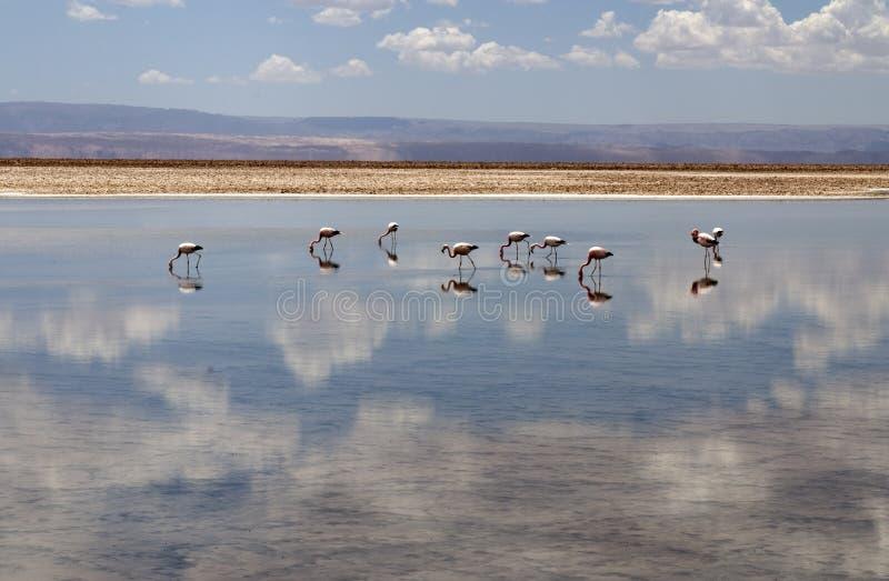Flaming przy Atacama pustynią zdjęcia royalty free