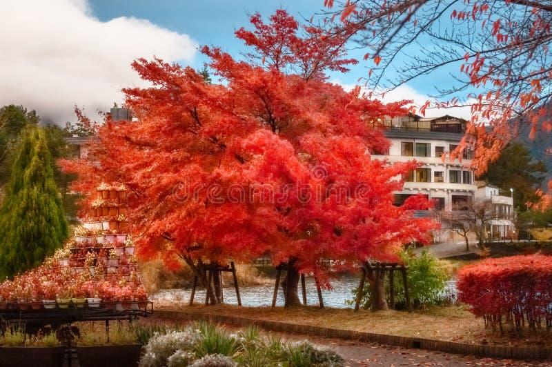 Flaming red tree in autumn in Fujikawaguchiko resort town, royalty free stock photos