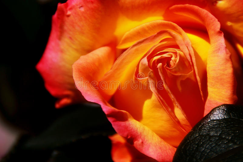 Flaming rose royalty free stock images