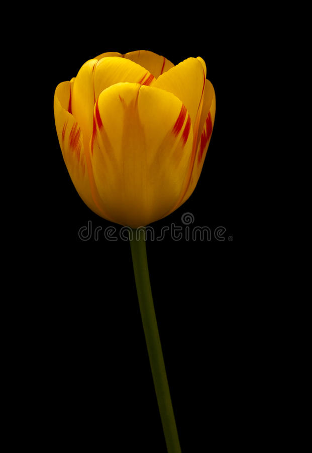 A Flaming Tulip stock image