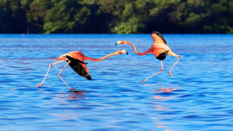 Flaming w przyrodzie Ameryka Po?udniowa Nami?tny taniec r??owi ptaki Celestun park narodowy Meksyk obraz stock