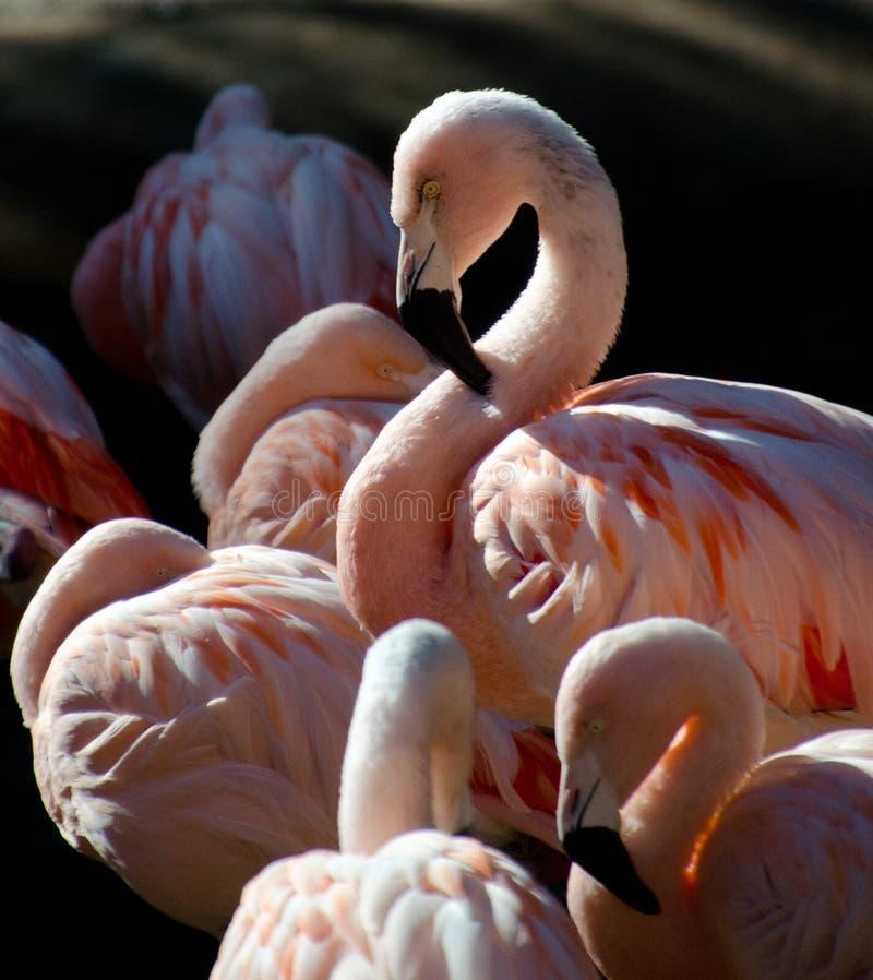 Download Flaming w safari parku zdjęcie stock. Obraz złożonej z sunshine - 106922026