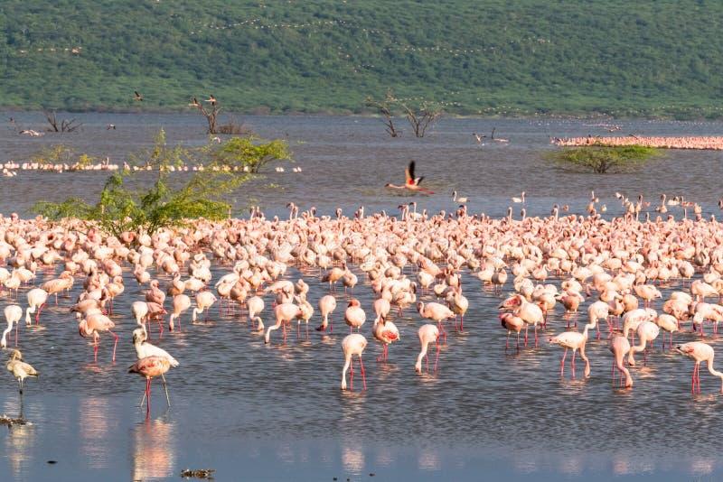 Flaminga kierdel Jeziorny Baringo Krajobrazów Afrykanin jeziora Kenja obrazy stock