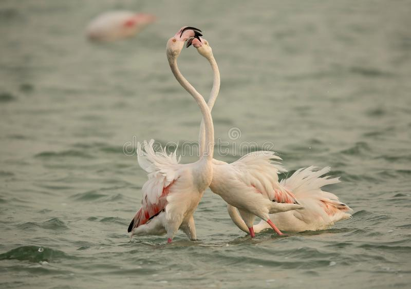Flaminga koperczaki, Bahrajn zdjęcia stock