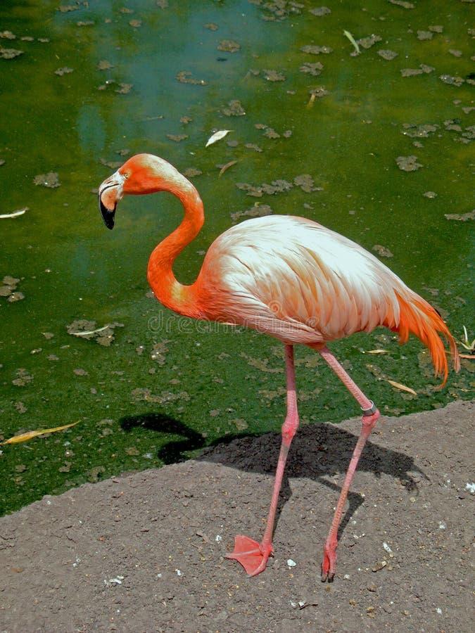 flaminga meksykanina patio fotografia royalty free