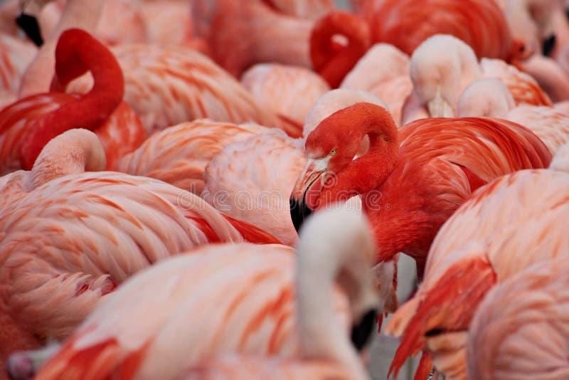 flaminga ptasi szczegół obraz stock