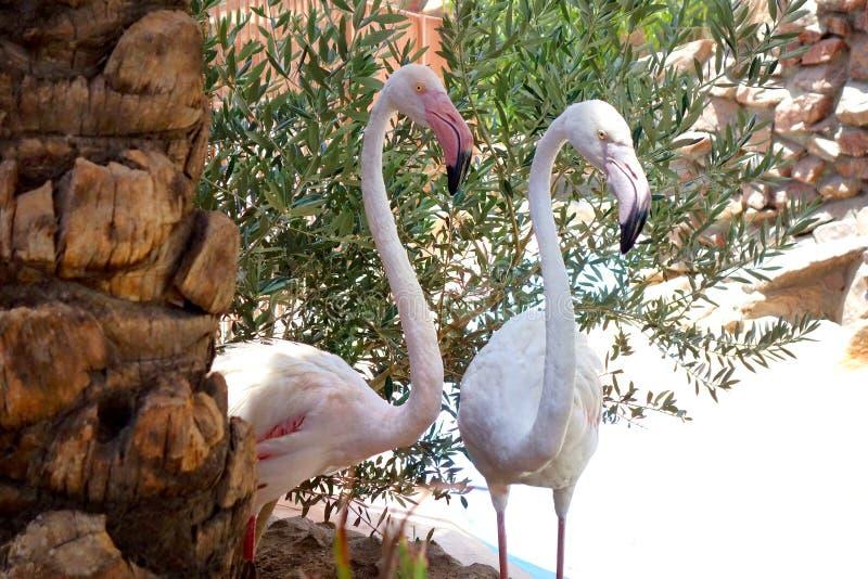 Flamingi żyją w Egipt zoo fotografia royalty free