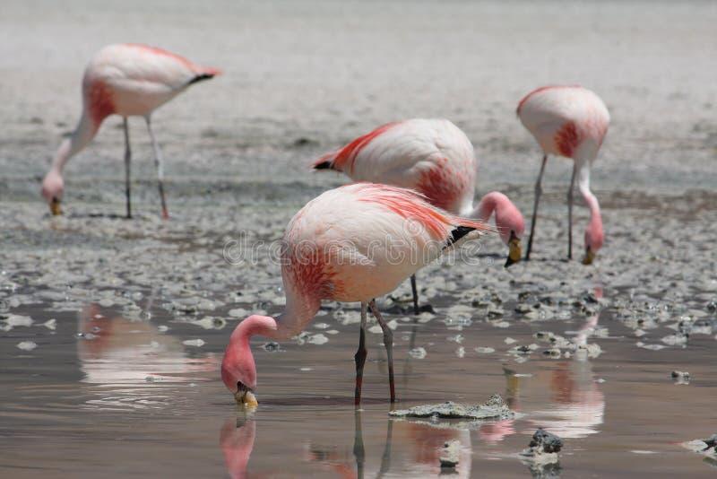 flamingi obraz royalty free