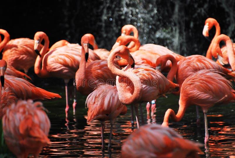flamingi fotografia royalty free