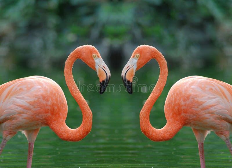 flamingi dwa obrazy royalty free