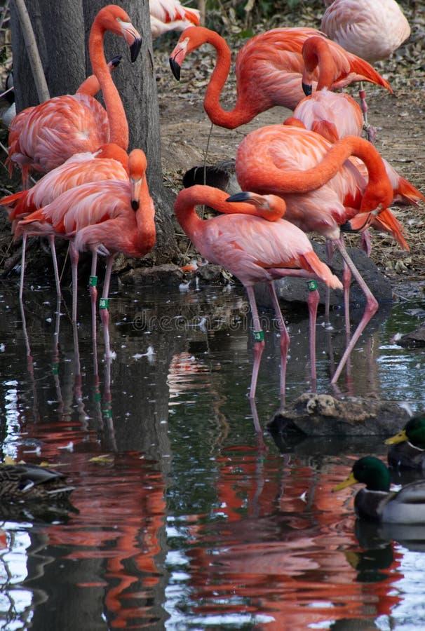 Flamingi i ich odbicie fotografia stock