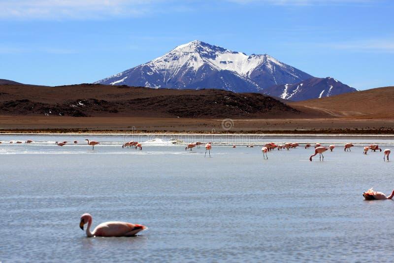 Flamingi na jeziorze w Andes górze, Boliwia zdjęcia stock