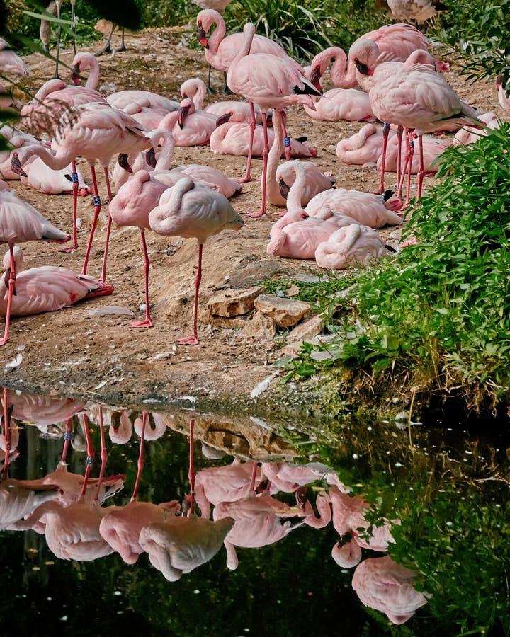 Flamingi odzwierciedla na małym jeziorze fotografia royalty free