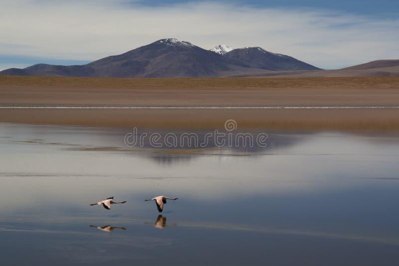 Flamingi przy średniogórzami obrazy royalty free