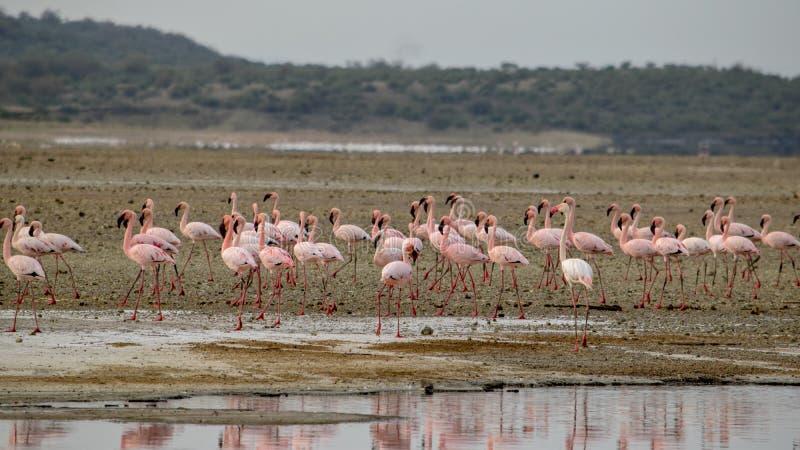 Flamingi przy Jeziornym Magadi, rift valley, Kenja zdjęcia royalty free