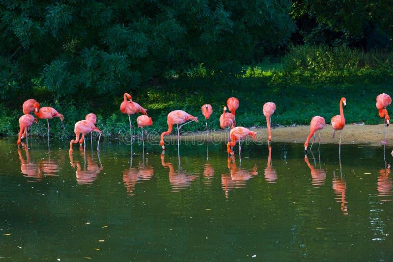 Download Flamingi Różowią Zoo Ptasiego Flaminga Plenerowego Obraz Stock - Obraz złożonej z piórko, grupa: 53785795