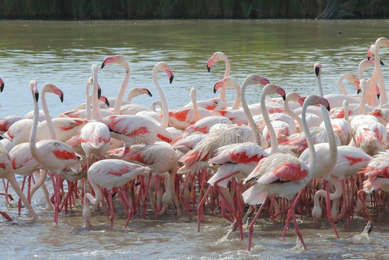Flamingi w francuskim Camargue obrazy stock