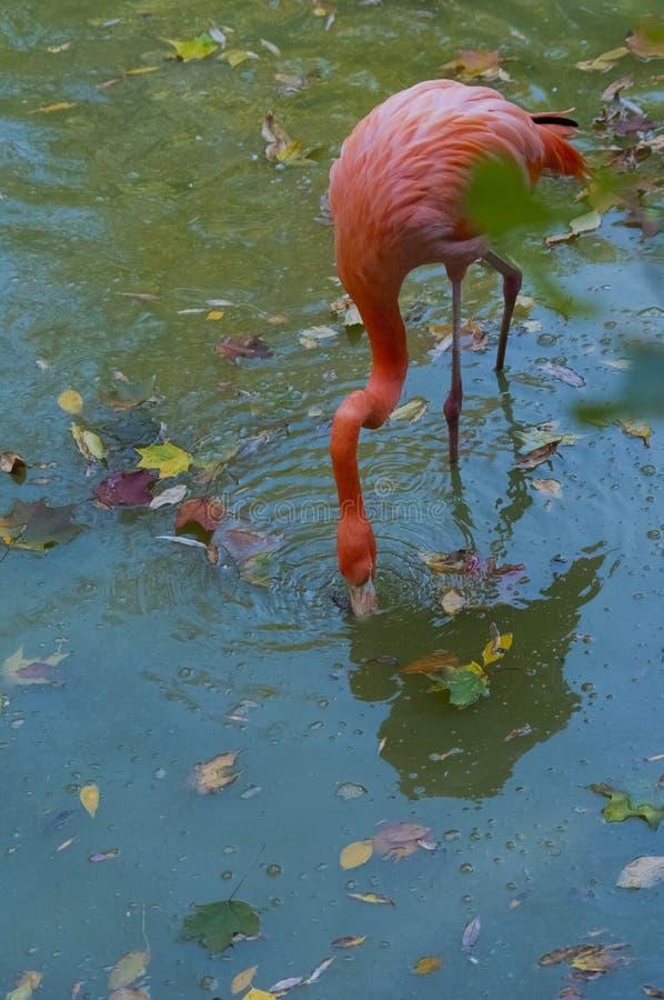 Flamingi w jesieni zdjęcia royalty free
