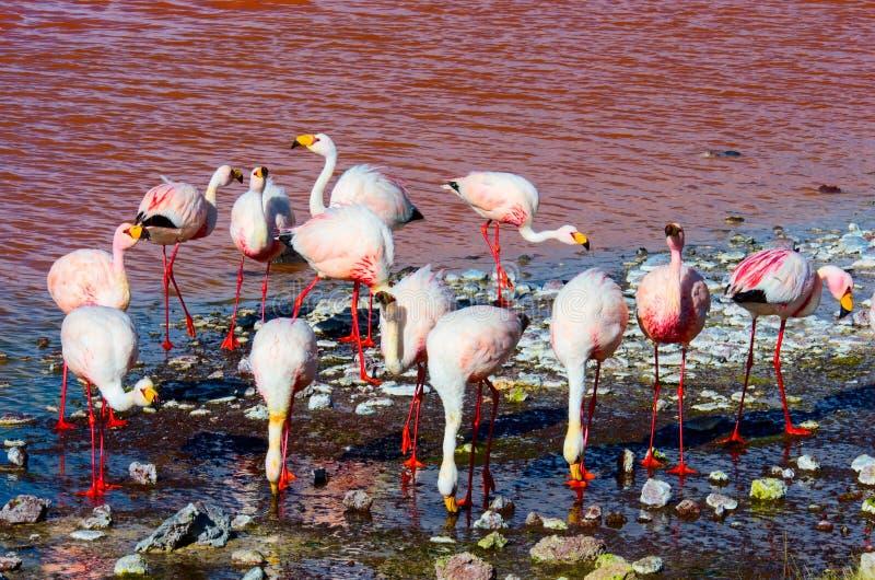 Flamingi w Laguna, Uyuni, Boliwia obraz royalty free